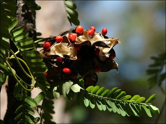 The Rosary Pea