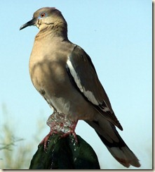 White-winged dove at Tohono Chul Park on cactus fountain