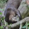 River Otter (North American)