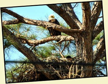 05b - Bald Eagle Parent