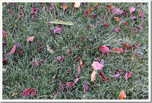 111206_frosted_grass