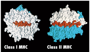 MHC Class I and Class II