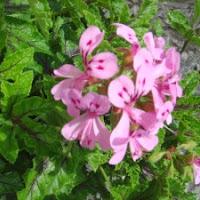 struikgeranium - eigenlijk pelargonium - bloeit ook in de winter
