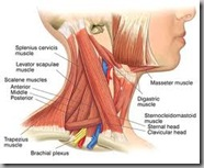 neck muscles1