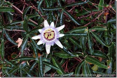 4199 Valleseco-Firgas(Flor de la pasión)