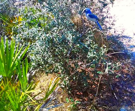 15. Florida Scrub jay cell phone pic-kab
