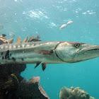 Grate Barracuda