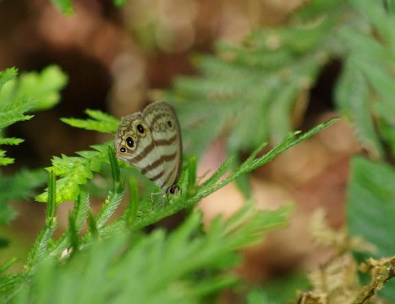 Euptychia neildi BRÉVIGNON, 2005. Layon de Crique Tortue en amont de Saut Athanase, 5 novembre 2012. Photo : J.-M. Gayman