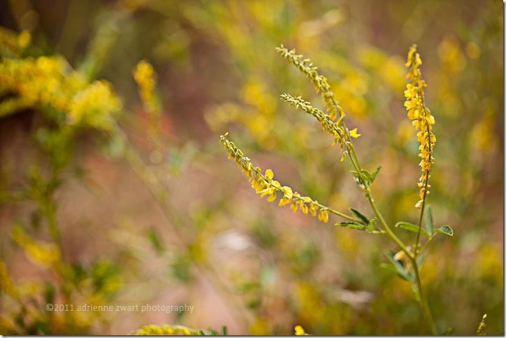 yellow wildflowers photo by Adrienne Zwart