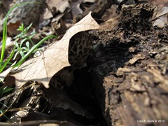 morel under leaf