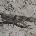 Band winged grasshopper