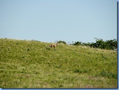 1310 Alberta Red Rock Parkway - Waterton Lakes National Park - a coyote
