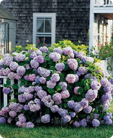 blue and purple hydrangeas