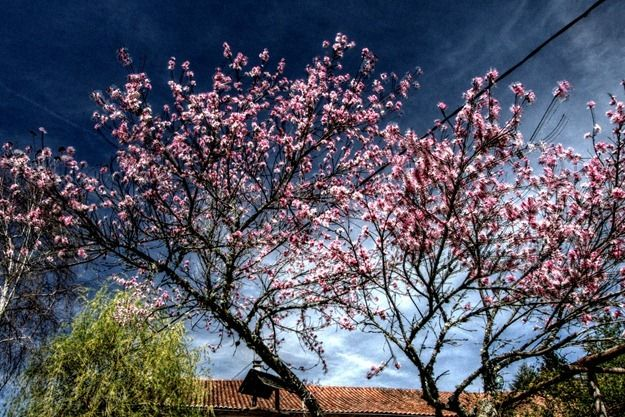 HDR tree in bloom.png
