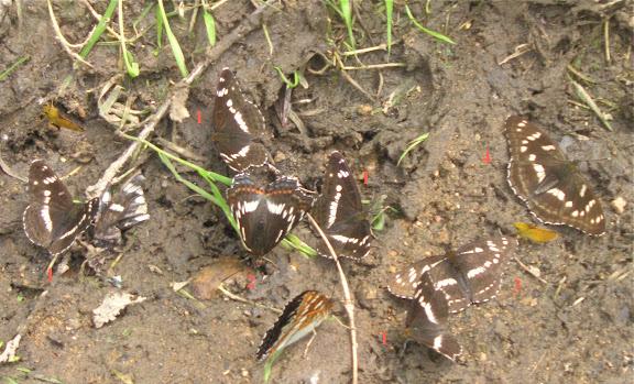 1. Limenitis camilla. 2. Limenitis populi. 3. Limenitis helmanni KINDRMANN, 1853. 4. Limenitis moltrechti. Chemin de Muraveka à Novogordeevka, à l'est d'Anutchino (Primorskij Kraj, Russie), 2 juillet 2011. Photo : Jean Michel