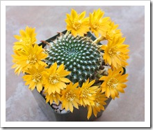 120607_Rebutia-krainziana-yellow-flowered_14[3]