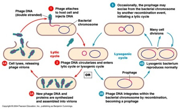 lytic and lysogenic cycle