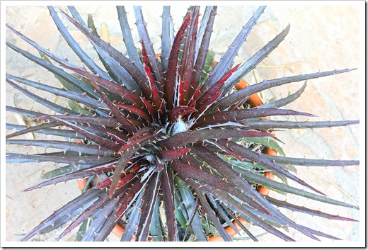 130821_Dyckia-Burgundy-Ice_03