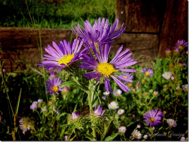 Asters_RedRiver