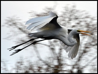 08 - Animals - Great Egret 3