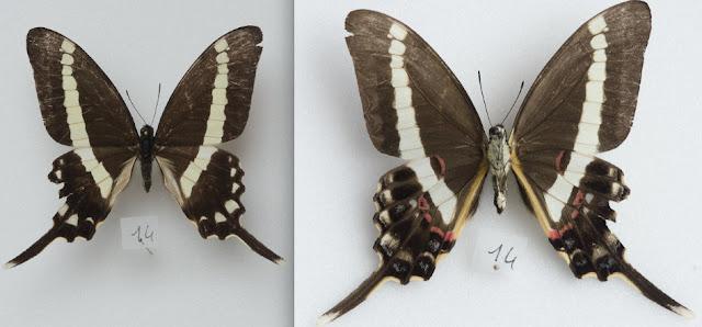 Graphium illyris girardeaui GUILBOT & PLANTROU, 1978, mâle. Ebogo (Cameroun), avril 2013. Coll. et photo : C. Basset