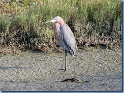 6157 Texas, South Padre Island - Birding and Nature Center guided bird walk -Reddish Egret
