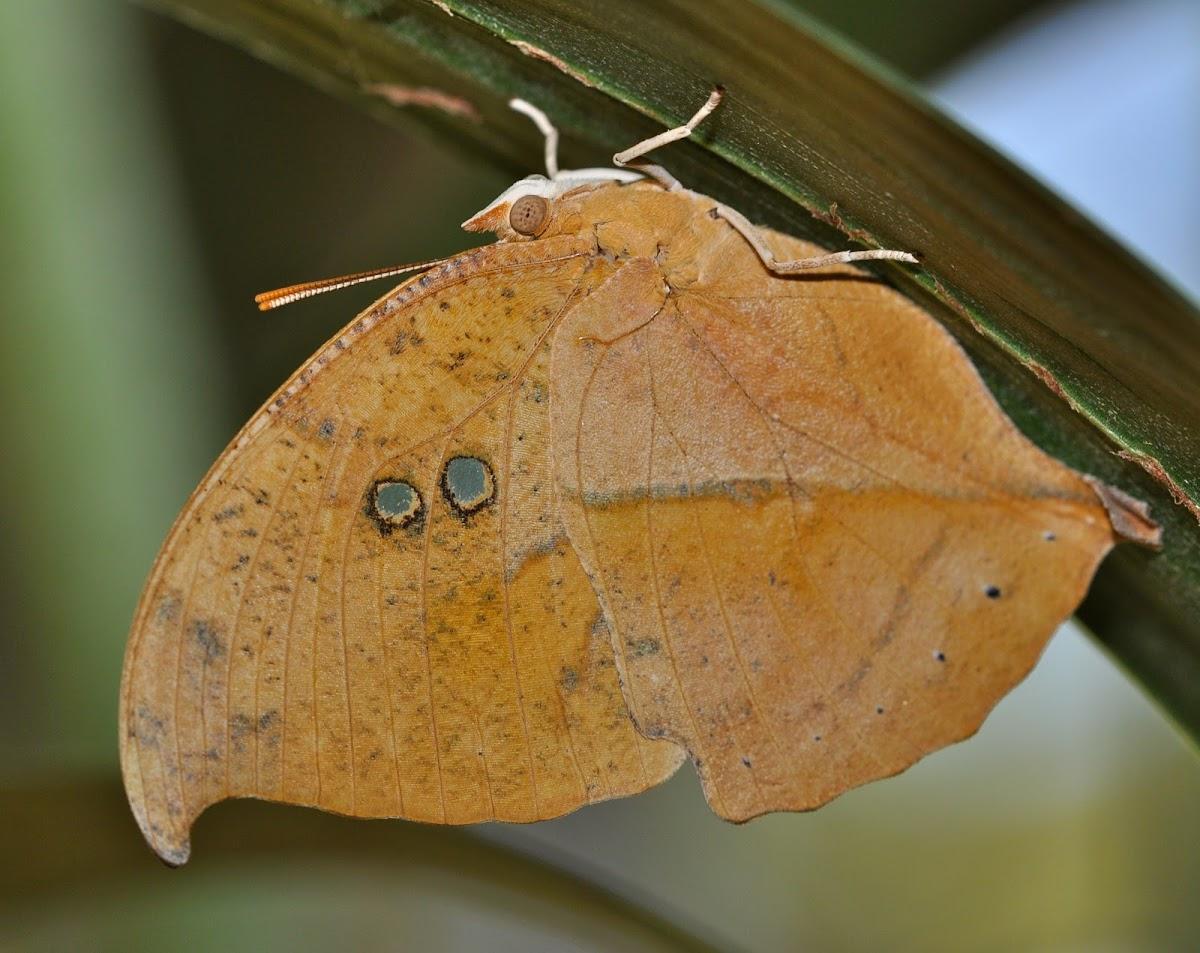 Seasonal Leafwing Butterfly