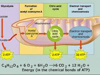 Aerobic Respiration Diagram