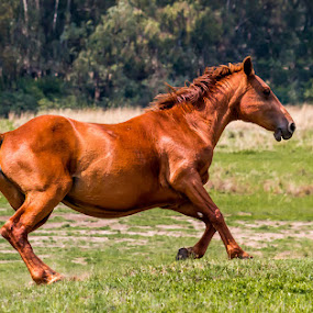 Free to Run by Hans-Erik Arp - Animals Horses ( galloping, equine, horses, horse, motion, namibian )