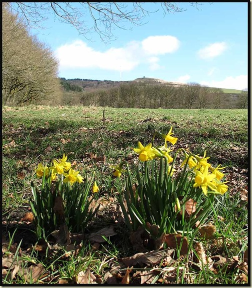 Daffodils, with Rivington Pike Tower and Winter Hill