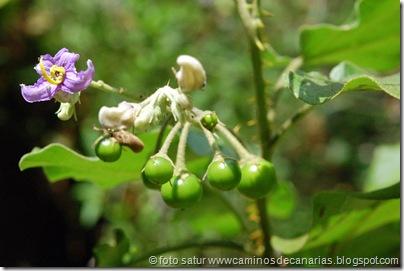 630 Tamadaba-Berrazales(Rejalgadera)