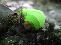 Polyphemus caterpillar head