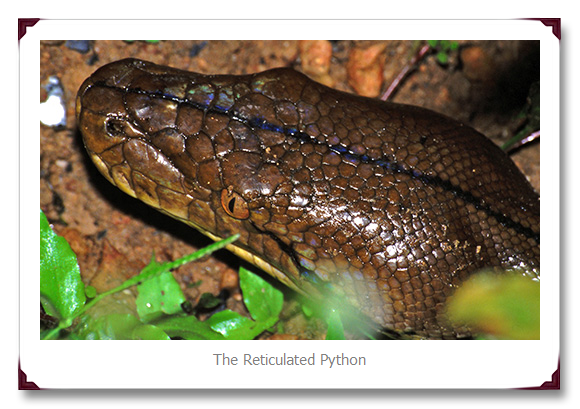 Reticulated Python Snakes