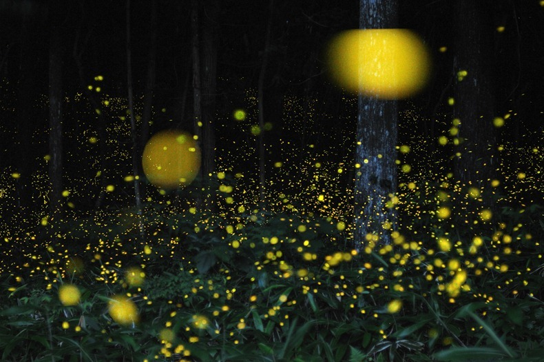 gold-fireflies-1