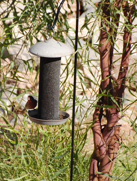 2. finch feeder-kab