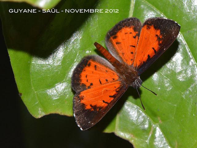 Calospila lucetia (HÜBNER, 1821), mâle. Saül, novembre 2012. Photo : M. Belloin