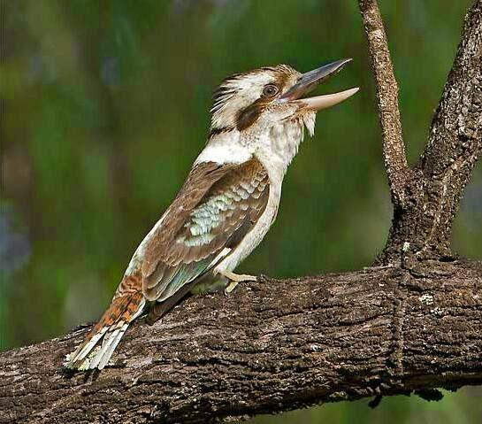 Kekekan suara burung kookaburas yang mantab