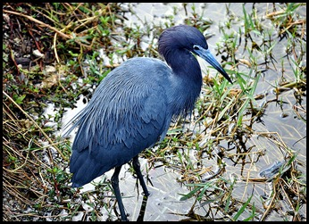 04c - Little Blue Heron