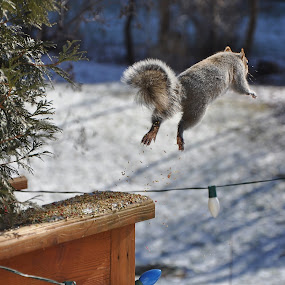 Leaping Squirrel by Viana Santoni-Oliver - Animals Other Mammals ( wild, yard, jumping, gray squirrel, gray., furry, wildlife, mammal, winter, cold, snow, leaping, backyard, squirrel, animal )