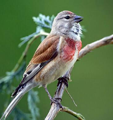 Suara burung linnet untuk masteran kenari