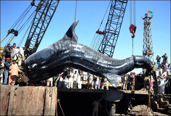 Giant 40-foot Whaleshark Caught 01