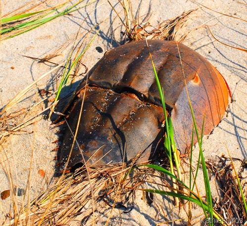 13. horseshoe crab-kab