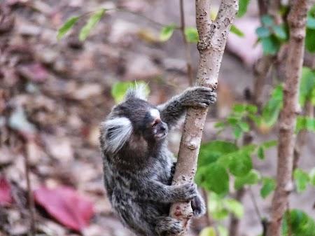 Nu stiu cum ii spune la aceasta specie de maimute, dar am vazut-o si la Zoo in Bucuresti.jpg
