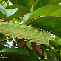 Caterpillar of Atlas Moth