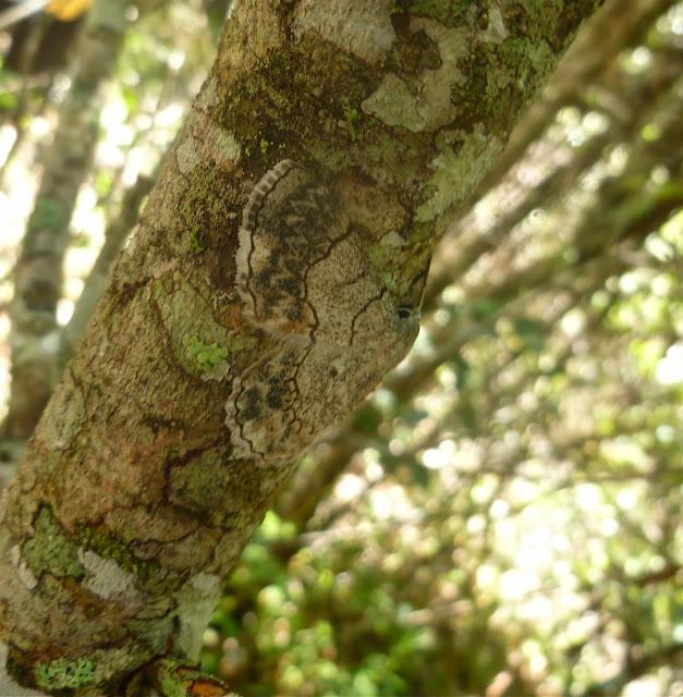Geometrinae : Pingasa rhadamaria (GUENÉE, 1858) (?). Saha Forest Camp, Anjozorobe (Madagascar). 3 janvier 2014. Photo : J. Marquet