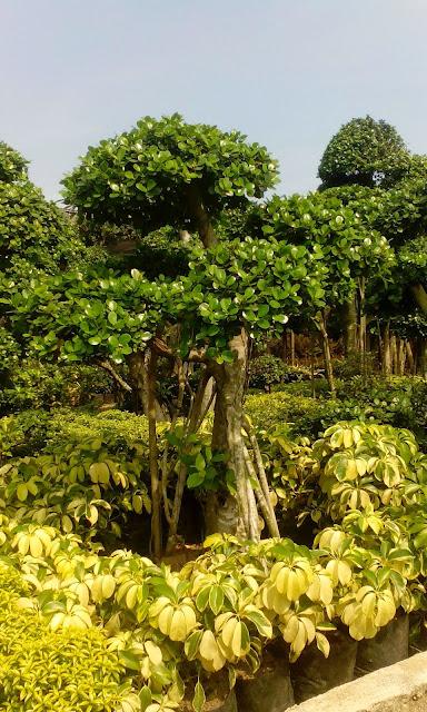 Jual pohon bonsai beringin korea atau beringin dolar harga murah