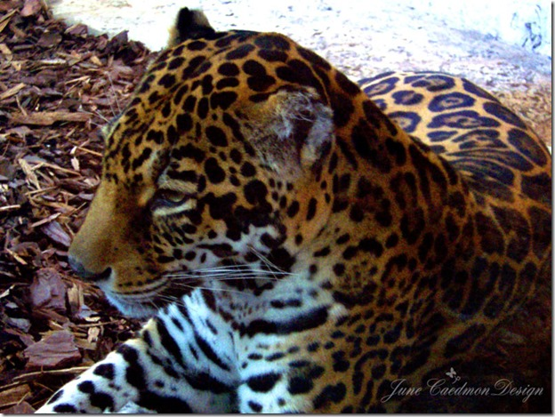 Jaguar_Color