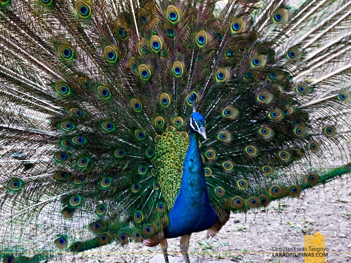 Peacock (or is it Peahen) at Subic's JEST Camp Adventure