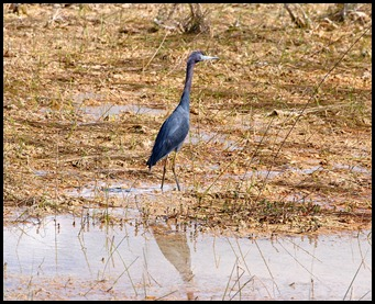 13d - On the trail - Little Blue Heron
