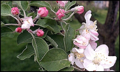 appleblossoms 4-12b
